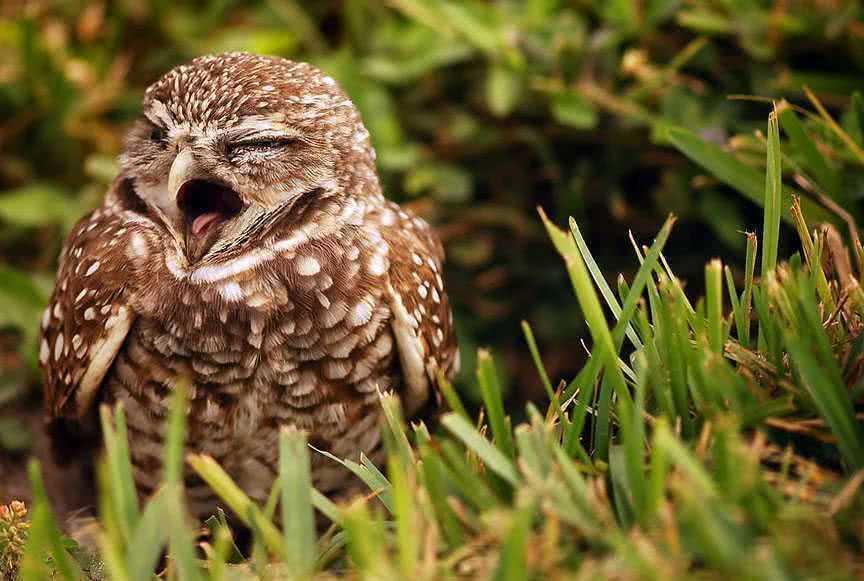 Спящая сова картинка